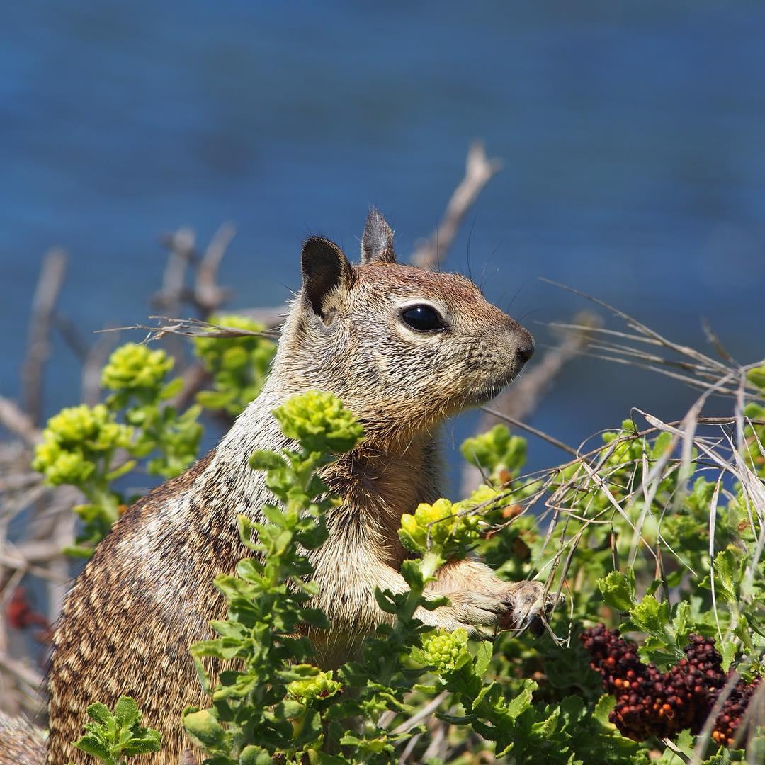 Ground Squirrel Big Sur California