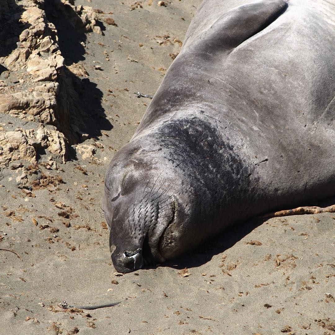 Snore. Elephant seal
