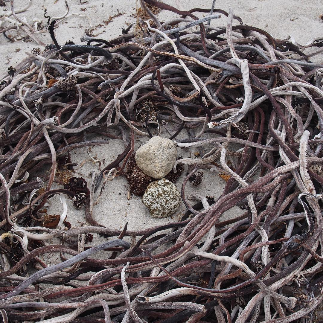 Kelp nest. Really beautiful stuff. I want to bring a container of it home.  I've made a couple of smelly baskets
