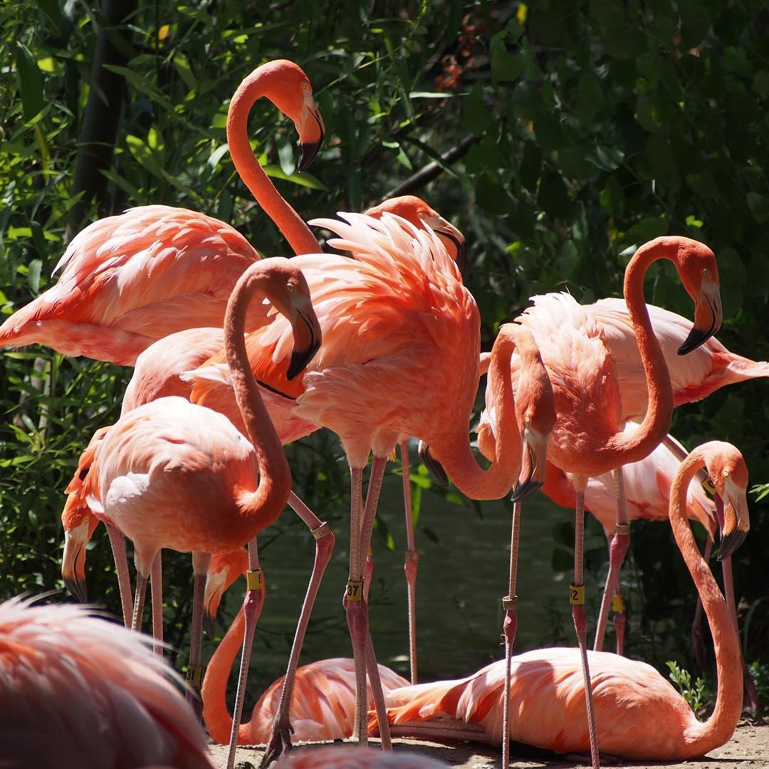 Flingos at Sacramento Zoo. I ❤️ flingos