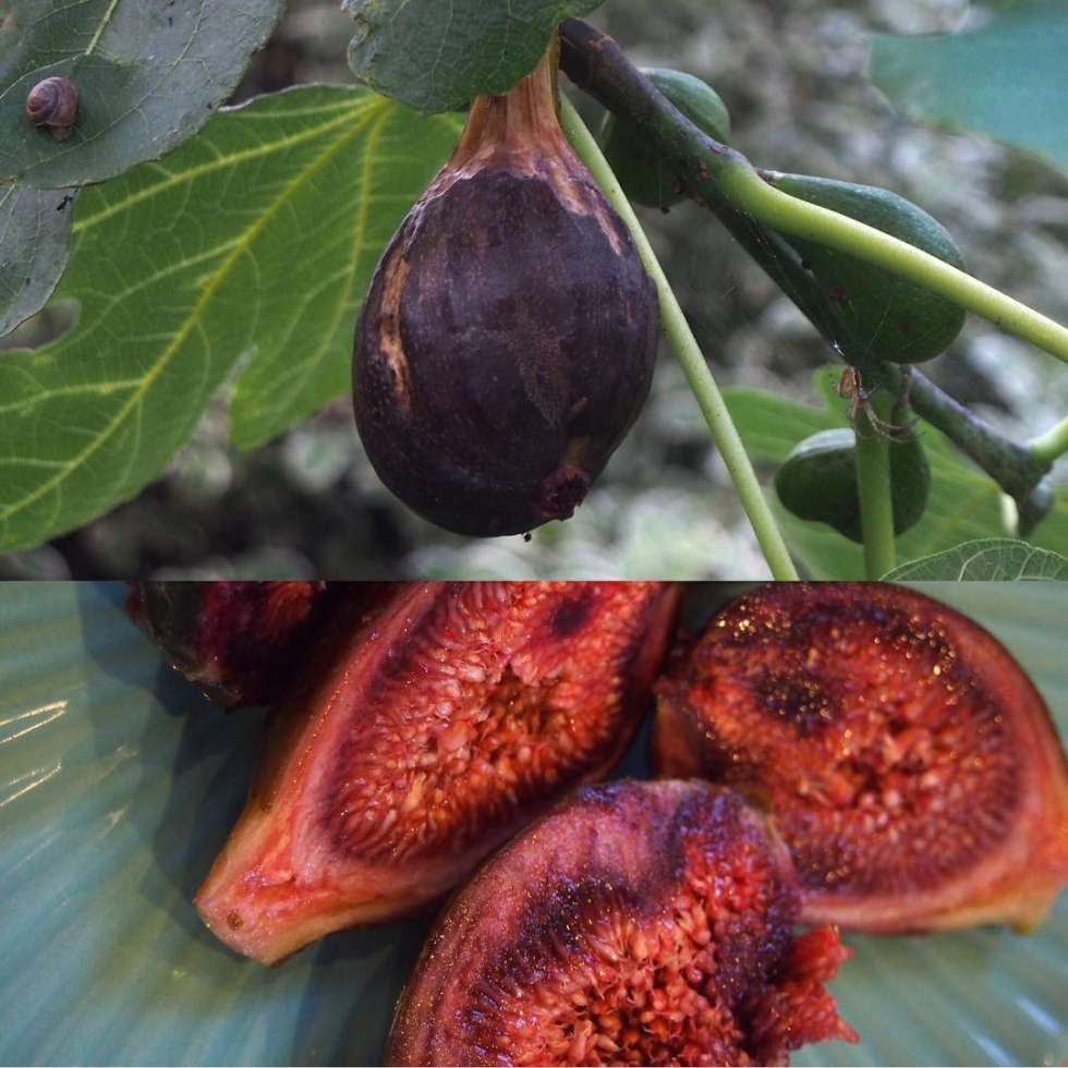 Six figs this year from our little tree. The most wonderful harvest and a fab looking tree. Breakfast of figs honey almonds and Wensleydale cheese. And the odd snail