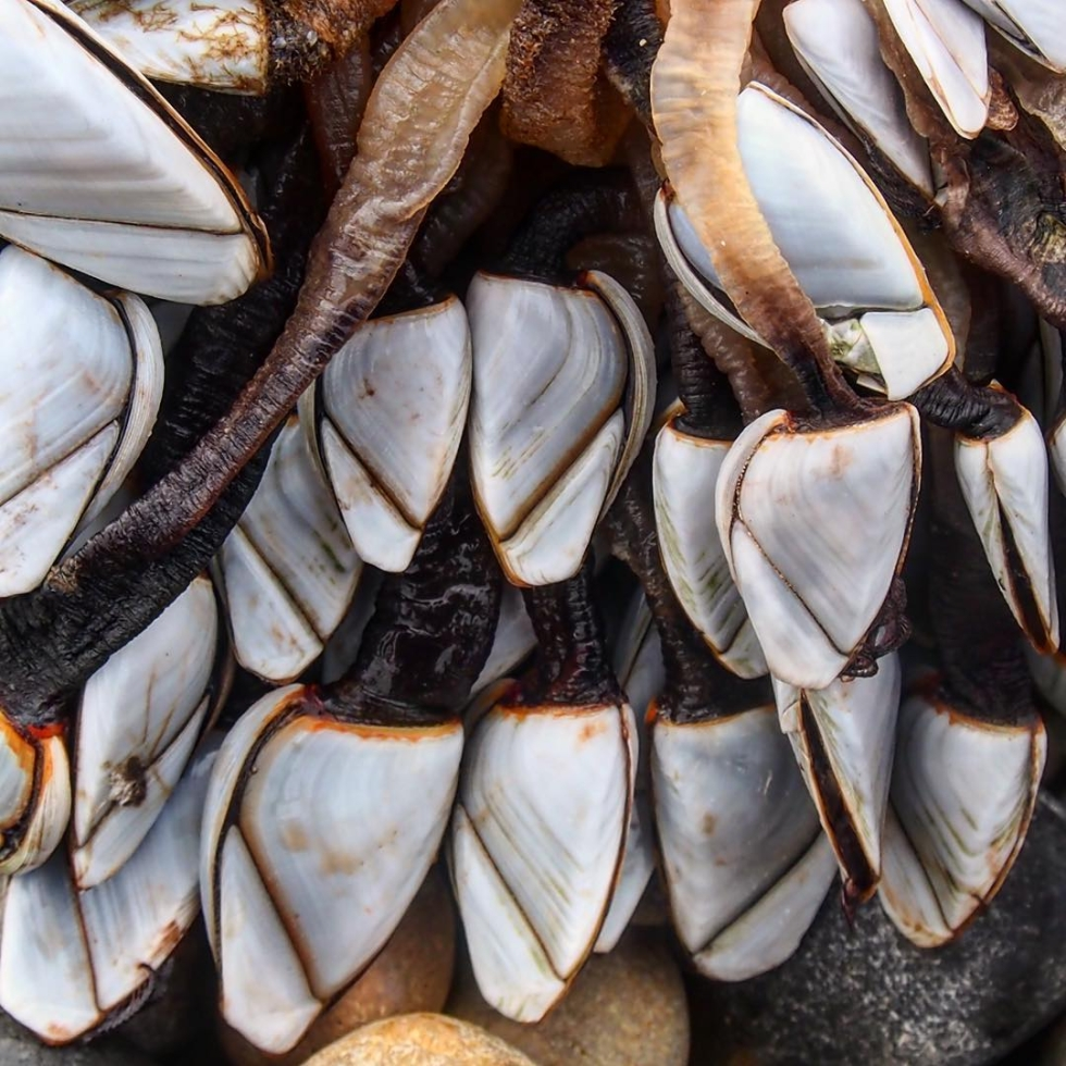 Stunning goose barnacles washed up at Brighton Marina.  Very good beach combing there near west arm at the moment. Dog owners beware large lumps of palm oil about